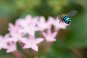 indigenous bee