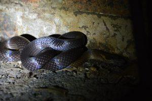 golden crowned snake